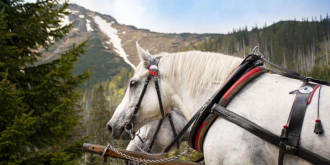 Przedsezonowe badanie koni pracujących na trasie do Morskiego Oka 2021.